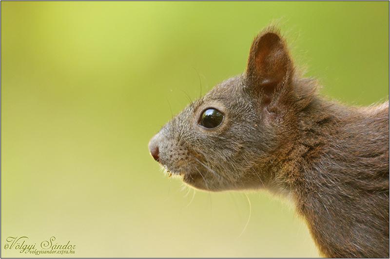 Vörös mókus - 2020. szeptember, Mecsek