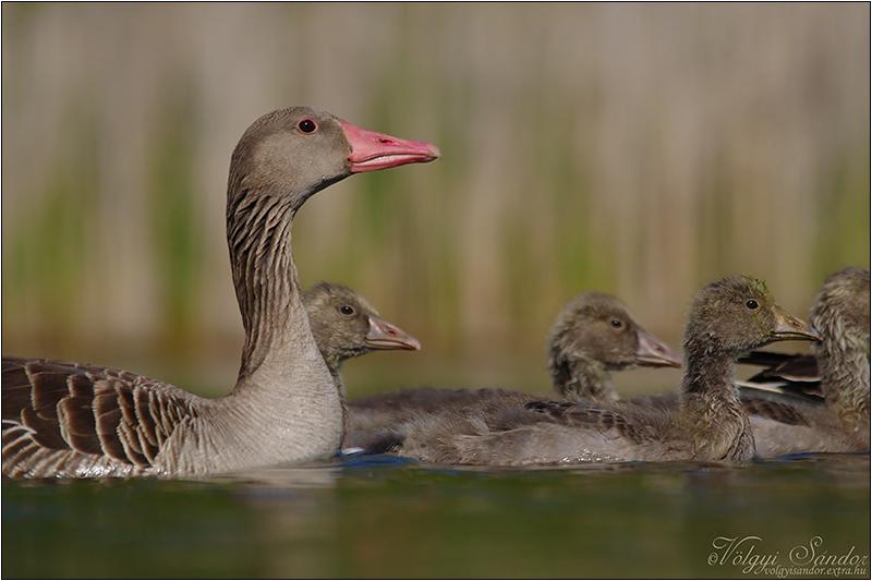 Nyári lúd család - 2021. május, Pellérd