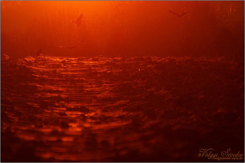 Naplementében gyülekező vörös kányák - 2019. február, Baranya